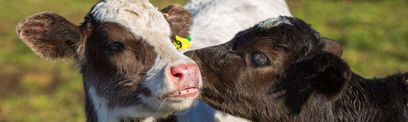 De grens tussen toezicht en opsporing bij kalverfraude, de koe bij de horens gevat